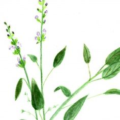 Free Basil and Sage Herb Watercolor Printables!