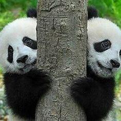 Twin Panda Bear cubs