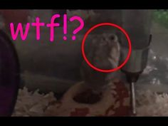 My girlfriend's special hamster. https://www.youtube.com/watch?v=GQKObo9Wbyo