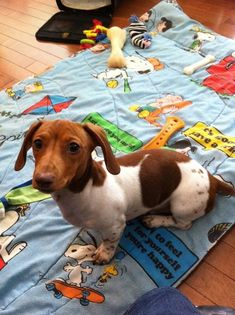 ♥♥♥♥♥♥ dachshunds dauchshunds weenier weeniers weenie weenies hot dog hotdogs doxie doxies ♥♥♥♥♥♥. #dachshund