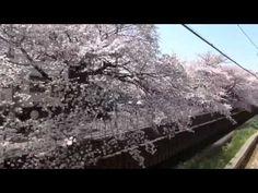 西武新宿線、武蔵関の桜 - YouTube