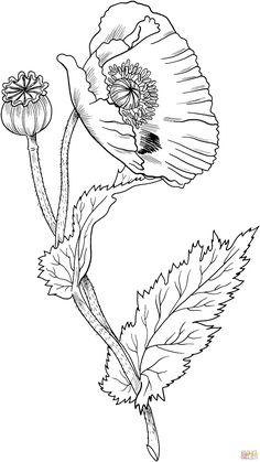 Opium Poppy   Super Coloring