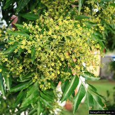 flindersia xanthoxyla flowers compliments of Australian Seed
