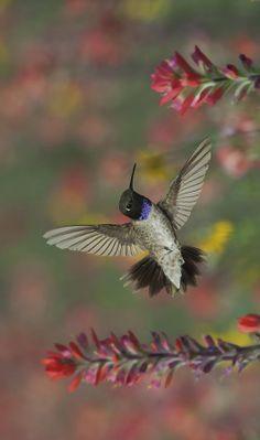 Black Chinned Hummingbird first see at my sister's in LaGrande OR. Hummingbird Moth, Hummingbird Painting, Fox Tattoos, Tree Tattoos, Deer Tattoo, Raven Tattoo, Tattoo Ink, Arm Tattoo, Hand Tattoos