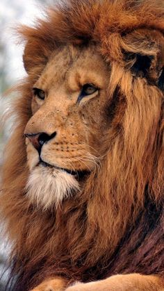 Loin of Judah