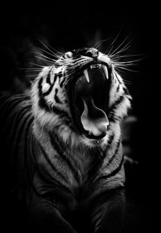 Wildlife Photography Black And White Tiger Kingso Nature Animals, Animals And Pets, Cute Animals, Beautiful Cats, Animals Beautiful, Majestic Animals, Gato Grande, Tier Fotos, Exotic Pets