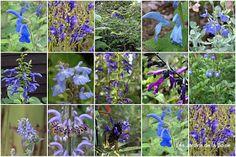 Sauges -  Les Jardins Botaniques de la Boirie