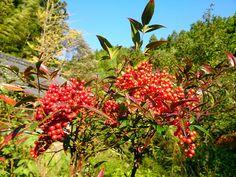 Nandin #garden #plant