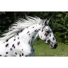 On the Move Black Leopard Appaloosa Mustang.