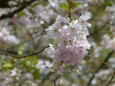 Kirschblüten – wunderbare Frühlingsbilder | Bilder, Aquarelle vom Meer & mehr - von Frank Koebsch
