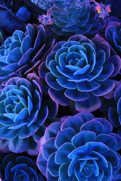 blue succulents