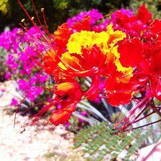• firey hibiscus • http://ift.tt/1EeCyA6