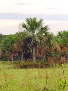 Mauritia flexuosa L.F.arecaceae,native:Brazil