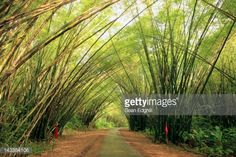 Trinidad and Tobago, Port of Spain, bamboo canopy above path