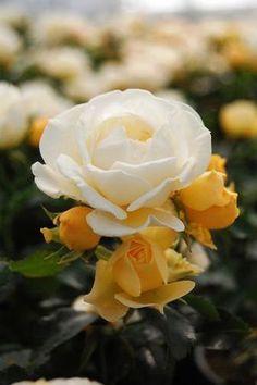 ~Popcorn Drift Rose