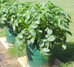 Potato plants in containers (and all the site, however)
