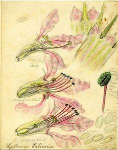Lythrum salicaria, Rudolf #Blaschka, c.1890-1913 (CMGL 134017)   Rakow Research Library