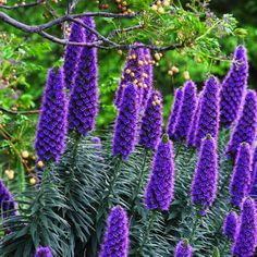 Top 50 water-wise plants  Pride of Madeira Actually from Madeira, this plant produces wonderful spikes of blue-purple flowers along the coast in poor soil and with practically no extra water. Bees love it.