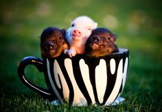 Tea cup Pigs are the cutest