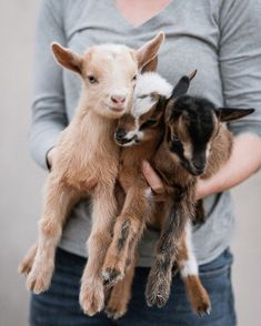 : Adorabaaal Small Goats That Totally Rock Our Haaarts (Love With Animals) - Animals and Pets Baby Farm Animals, Animals And Pets, Funny Animals, Cute Animals, Animals Planet, Small Animals, Small Goat, Cute Goats, Baby Goats