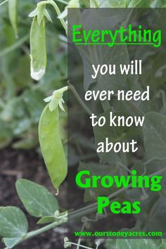 Growing peas is one of the easiest things you can do in your garden. This post will tell you every thing you need to know about growing peas.: