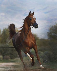 Amurath Centurion (Trussardi x Amurath Criztina) 2015 chestnut colt bred by Amurath Arabians, Arizona Arabian horses Beautiful Arabian Horses, Most Beautiful Horses, Majestic Horse, All The Pretty Horses, Animals Beautiful, Zebras, Arabian Beauty, Chestnut Horse, Horse Drawings