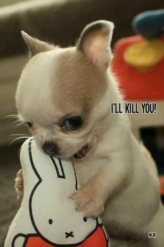Ferocious Chihuahua I'll eat you. I'll kill you! Cute Baby Puppies, Cute Puppy Breeds, Cute Chihuahua, Chihuahua Puppies, Baby Dogs, Cute Dogs, Cute Little Animals, Cute Funny Animals, Funny Puppy Pictures