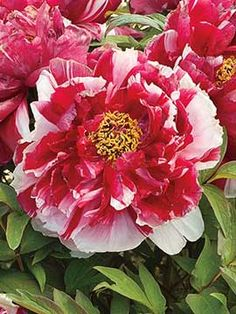 338 best landscaping perennial flowers images on pinterest in 2018 all perennials products mightylinksfo