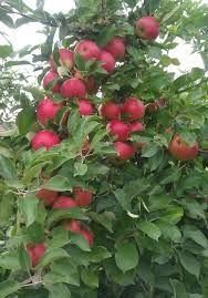 Afbeeldingsresultaat voor appelboom