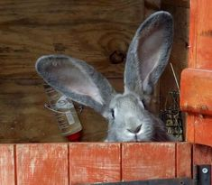 Continental Giant Rabbit for sale--love the ears Animals And Pets, Baby Animals, Funny Animals, Cute Animals, Funny Bunnies, Cute Bunny, Big Bunny, Grey Bunny, Hamsters