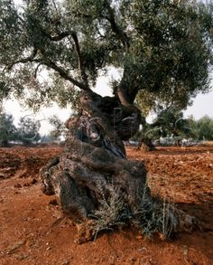 An ancient olive tree in Italy  -  cephas.com