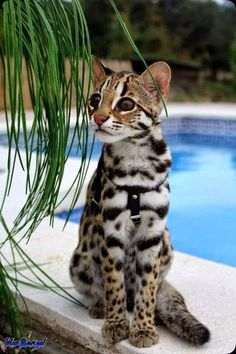 Savannah is one of the top cats , but if we say its worlds 2nd most expensive breeds in the cats then it might not be wrong some where it styles just look like a Bengal tiger