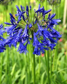 Agapanthus Azure blue Agapanthus, Back Gardens, Blue And Silver, Garden Plants, Cobalt, Flower, Gardens, Flowers