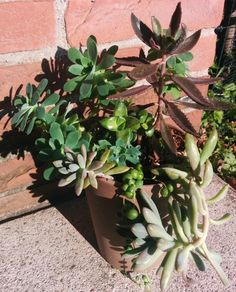 Succulente mix