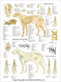 Dog Anatomy Skeletal Nerves Poster
