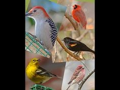 This video enables identification of common wintertime backyard feeder birds. It was designed for use by new and amateur birders. Visual characteristics and . Merlin Bird, Bird Identification, Bird Calls, Backyard Birds, Chant, Bird Species, Wild Birds, Bird Watching, Bird Art