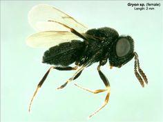 Gryon sp.
