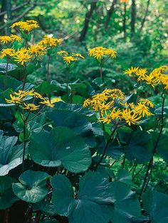Ligularia dentata 'Desdemona': This lush perennial has large, purple-reddish young leaves that turn green on top, and spires of orange flowers in midsummer. Try standing it near a water feature. Keep the soil moist in summer, and shelter from strong winds. Pests: Beware of slugs. Height: 3 feet. Spread: 3 feet. Hardiness: Fully hardy plants. Soil Preference: Well-drained soil, moist soil. Light: Partial or dappled shade