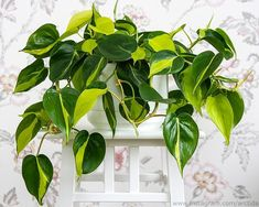 Indoor Plant Wall, Indoor Plants, Air Plants, Garden Plants, Philodendron Scandens, Pothos Plant, Ficus Tree, Spider Plants, Unique Plants