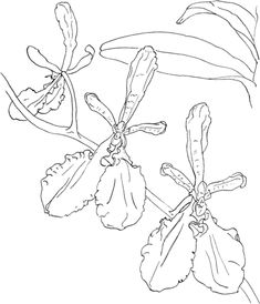 Coloring pages of christmas orchids ~ coloring pages of orchids | Cattleya Maxima or Christmas ...