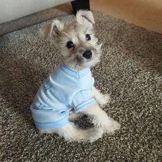 I need this puppy! #miniatureschnauzerpuppy