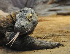 Kimodo Dragon..the largest living species of lizard, growing to a maximum length of 10 ft