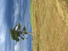 Lonely tree State Highway 5 Taupo-Napier Heartland, Lonely, New Zealand, Country Roads, Loneliness