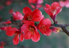 Japonica ~ Flowering Quince at the Hanamatsuri - Japanese Flower Festival Flowers Nature, Exotic Flowers, Tropical Flowers, Red Flowers, Beautiful Flowers, Spring Flowers, Beautiful Things, Trees And Shrubs, Trees To Plant
