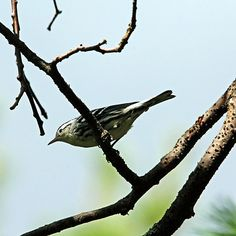 Black and White Warbler - Mcgregor Bay Georgian Bay Ontario Canada #art #photography #birds #songbirds #warbler