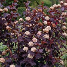 Ninebark. Physocarpus opulifolius 'Diabolo' Tolerates a wide range of soil conditions. An easy grower.