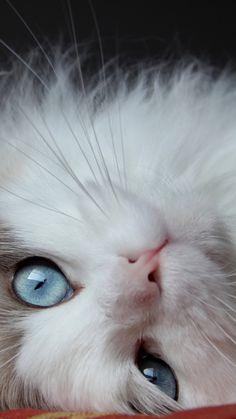 fluffy cat, cat, lies, eyes, handsome cat More