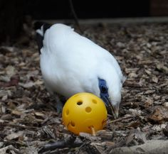 Bali starling/small bird enrichment.  Wiffle ball containing mealworms.  Do not use with larger birds that may try to swallow the whole ball!!!