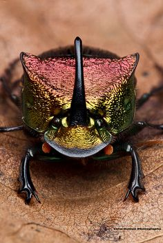 Phanaeus vindex, the rainbow scarab or rainbow scarab beetle is a North American dung beetle, with a range from the eastern US to the Rocky Mountains. The head is a metallic yellow color, and males have a black horn which curves backward toward the thorax.