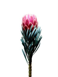 James Day Photography - Protea